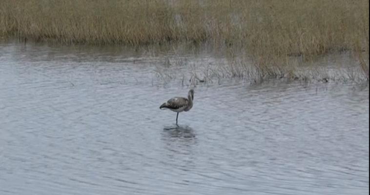 В окрестностях Магнитогорска — на озере Соленое — был замечен фламинго