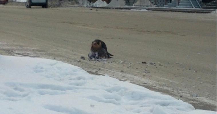 Редкая птица залетела в Магнитогорск пообедать