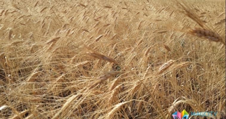 Запасы зерна в Челябинской области выше прошлогодних