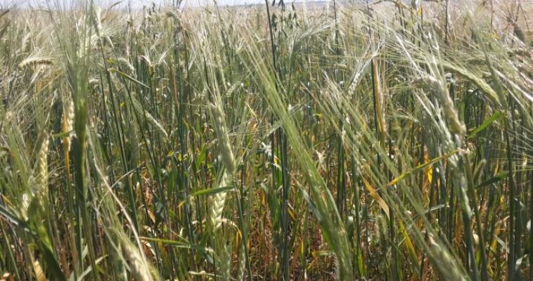 В этом году фермеры посадили больше картофеля и пшеницы