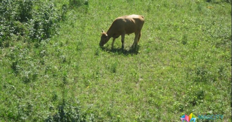 В Челябинской области арестовали корову