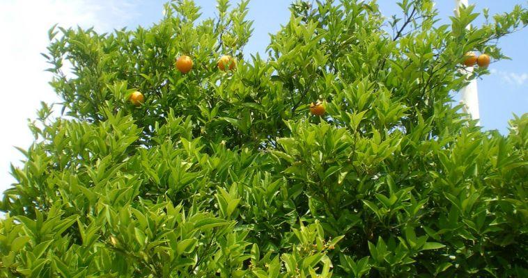 Турецкие мандарины и апельсины вновь попадут на столы магнитогорцев. Россия смягчила эмбарго
