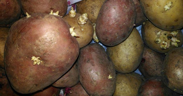 Облученный на «Маяке» картофель «покажет себя» по весне