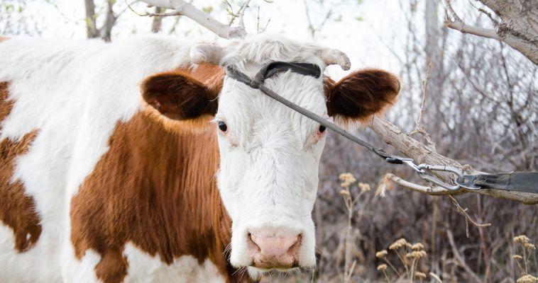 А вы пьете молоко здоровой коровы?