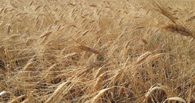 Свыше миллиона тонн хлеба уже в закромах