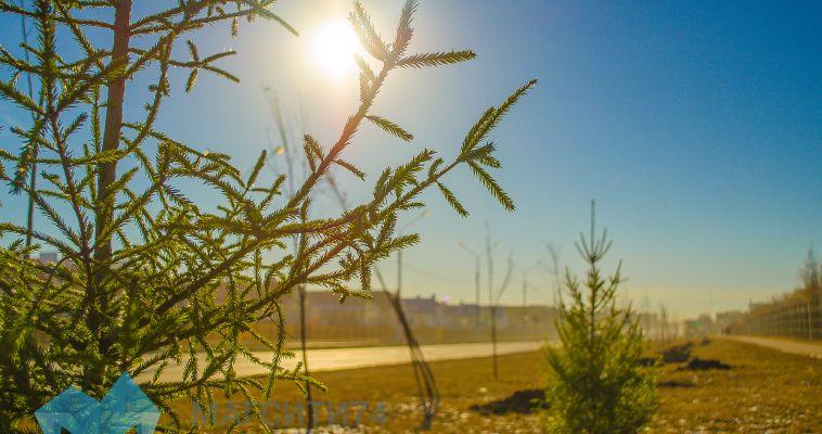 В «Лесу Победы» посадили сибирские ели