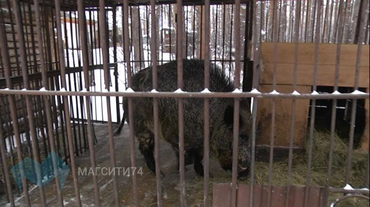 В зоопарке Абзаково живет свой символ года Свиньи