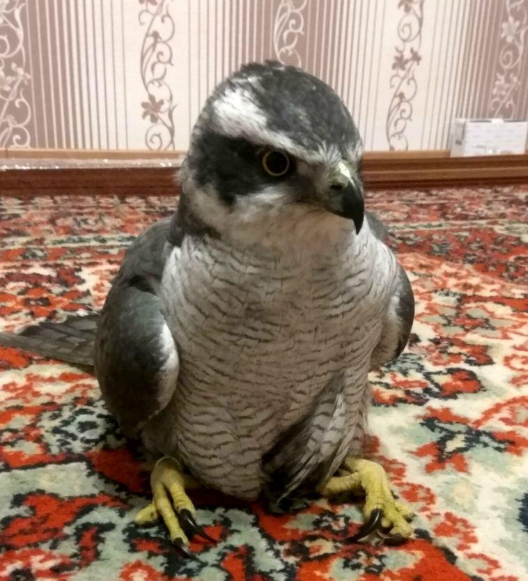 Магнитогорец подобрал на улице хищную птицу
