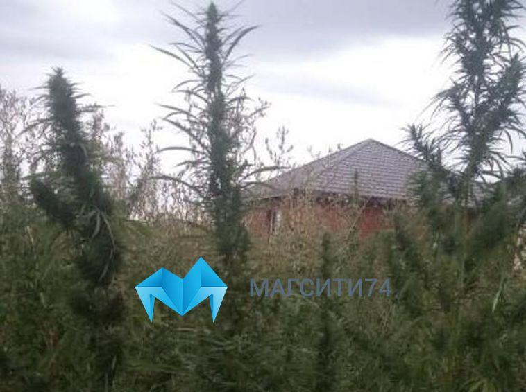 «Думали, что елки растут»: магнитогорцы обнаружили заросли дикой конопли в элитном поселке