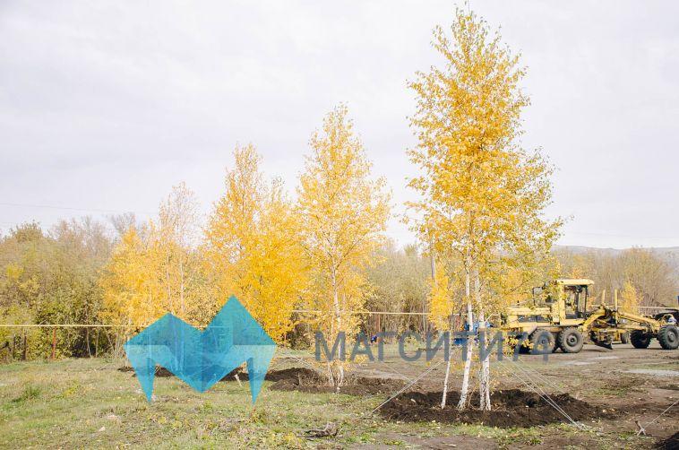 В сквере «Березки» началась высадка деревьев