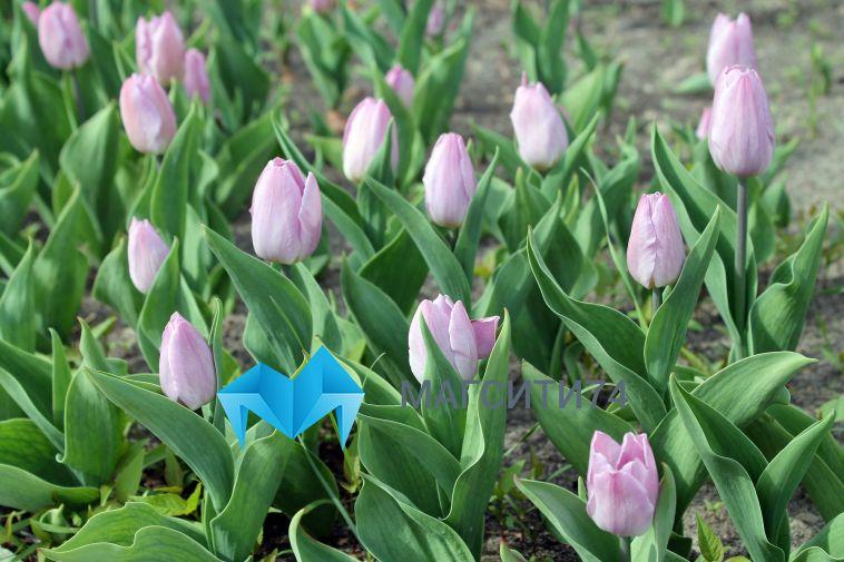 В Челябинскую область перестали завозить живые цветы