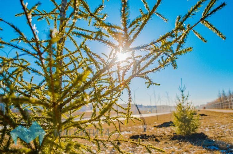 Магнитогорцам предлагают выбрать вид ели для парка у Вечного огня