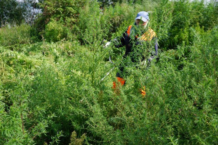 Тысячу квадратных метров конопли уничтожили вМагнитогорске