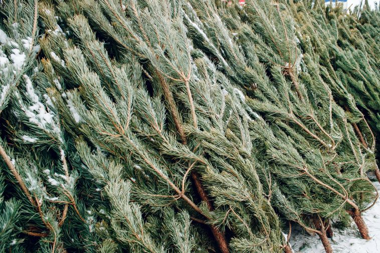 Какое новогоднее дерево лучше поставить у себя дома?