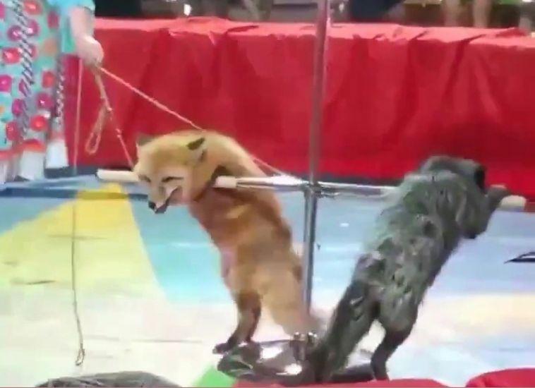 Миасский цирк обвиняют в издевательстве над животными