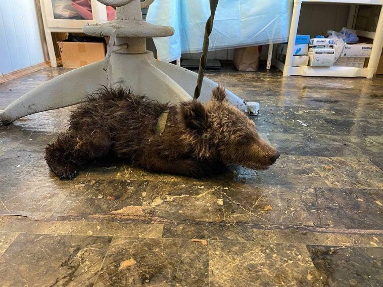 ВЧелябинской области спасли медвежонка
