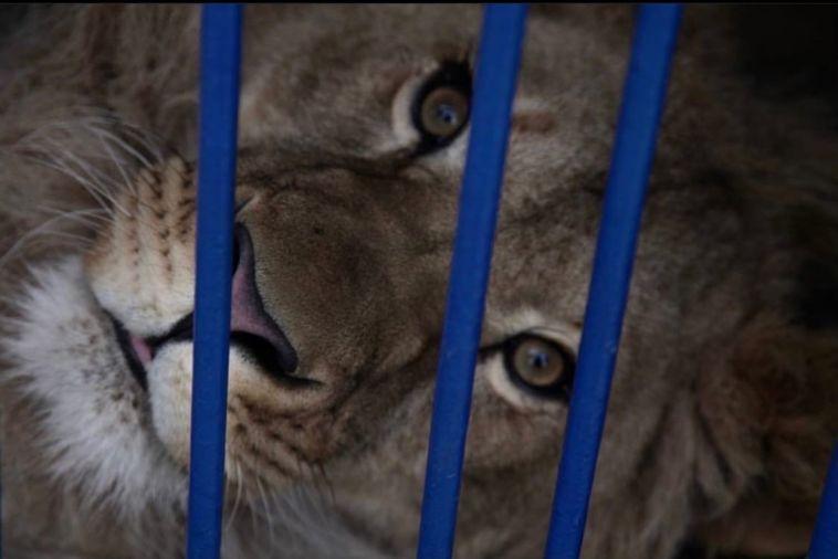 Самолёт со львом и самкой леопарда, который вылетел из Челябинска, застрял в Саудовской Аравии