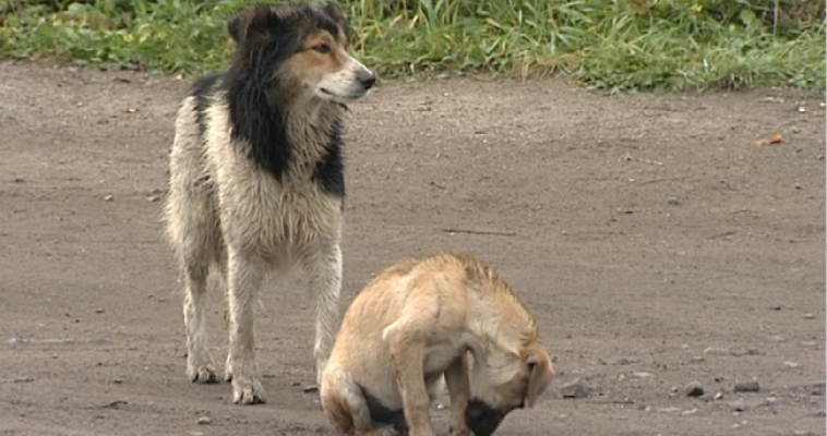 Челябинская область — неблагополучная по бешенству животных