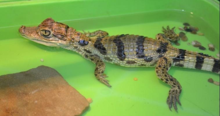 Крокодилы привязываются к людям, как и собаки
