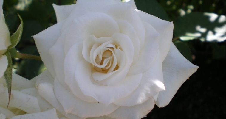 Магнитогорцы изготовят тысячи белых цветов из бумаги для необычной акции