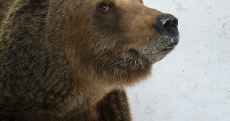 Бурая медведица предсказала тёплое лето