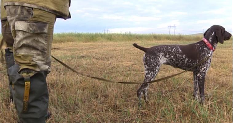 Испытание для четвероногих. Охотничьи собаки продемонстрировали навыки на областных соревнованиях под Магнитогорском