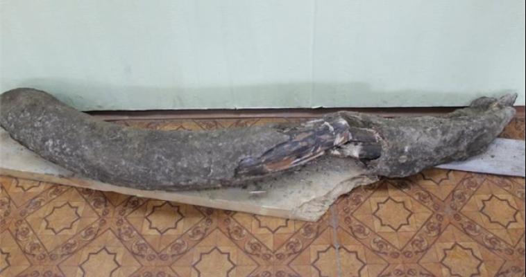 Южноуралец нашёл бивень мамонта, копая погреб