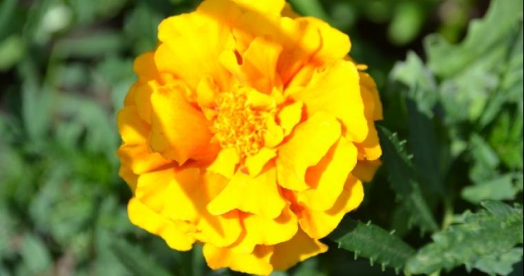 В Магнитогорске появились морщинистая роза и миндаль