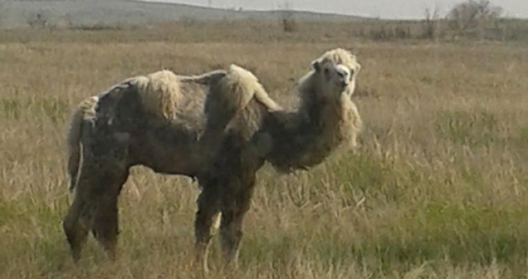 На окраине города магнитогорец встретил верблюда