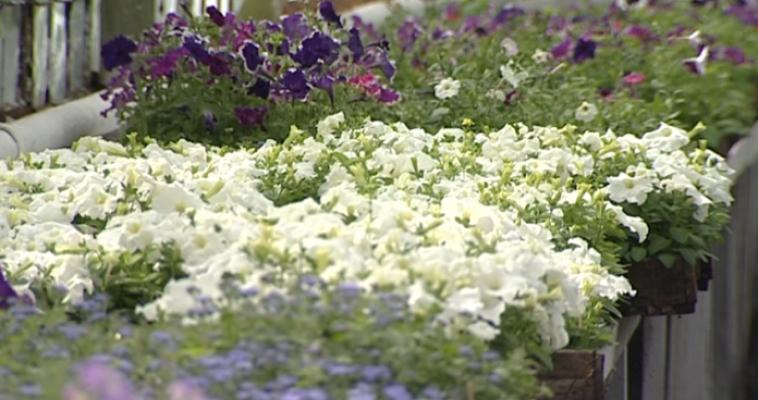 126 тысяч цветов уже украсили улицы города