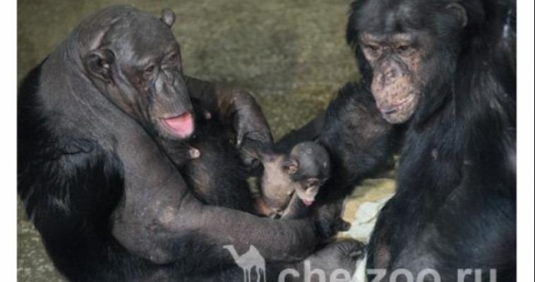 В зоопарке Челябинска выбрали имя новорожденной шимпанзе