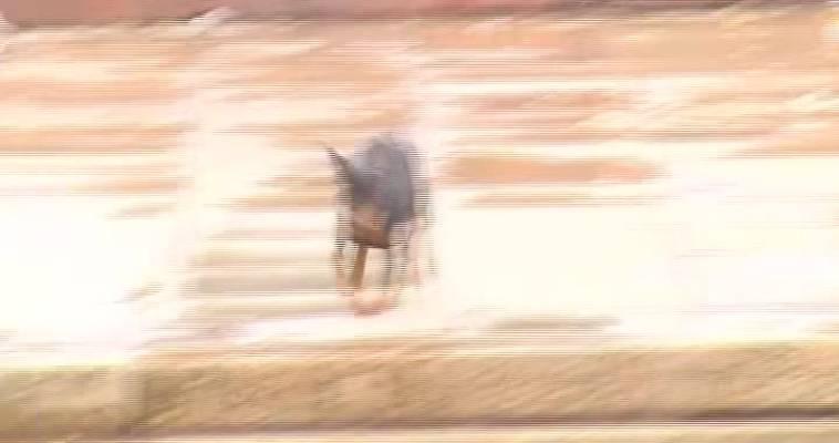 Пинчер карликовый (11.04)