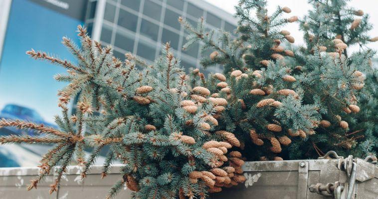 У нас здесь не мусорят! Когда и как убирать новогоднюю ёлку?