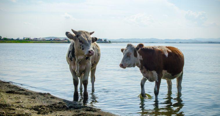 Рога - в ряд! Сколько коров проживает в Челябинской области?