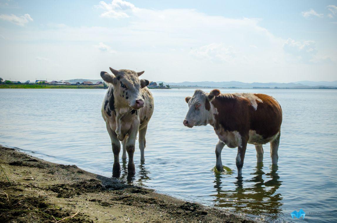 Стали известны подробности нападения коров на детей