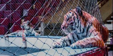 Стали известны результаты анализов тигрицы Зены