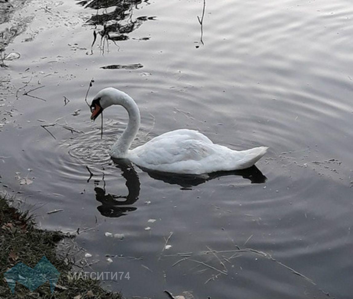 Магнитогорцы на реке Урал заметили редких птиц