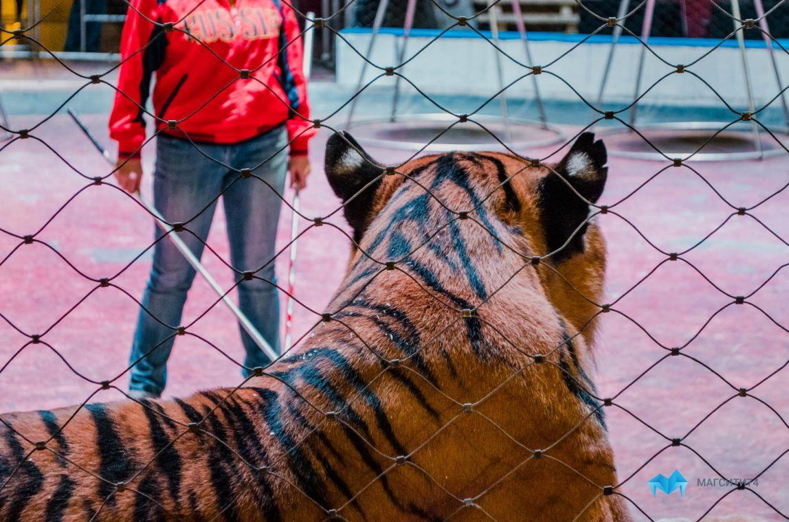 Поклонники выбирают имена новорожденным тигрятам Багдасаровых