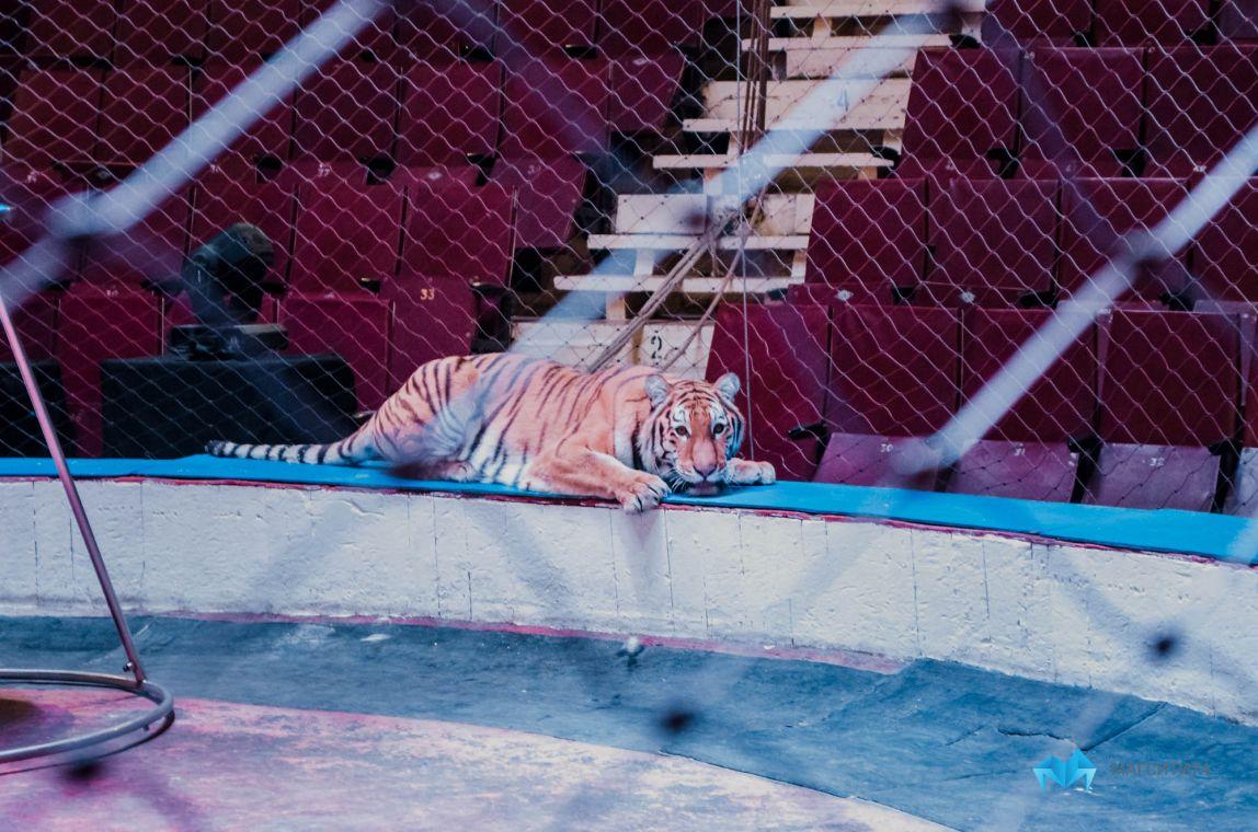 Новосибирские ветеринары обследовали тигрицу Зену