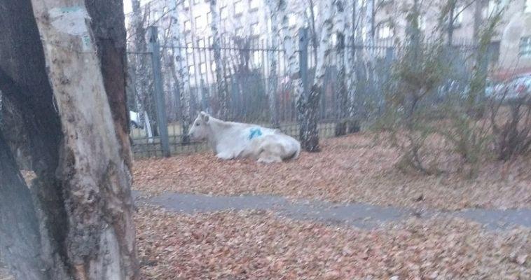 В центре города магнитогорцы встретили корову
