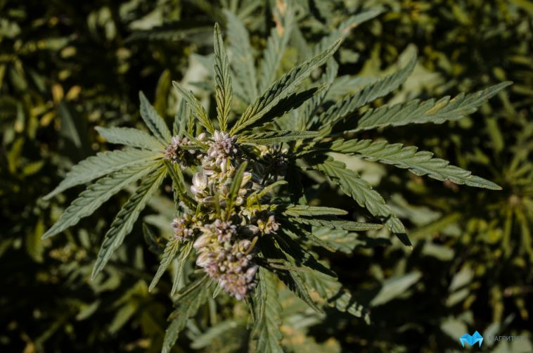 В России узаконят выращивание наркотиков