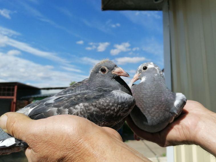 Магнитогорская голубка пролетела 1630 километров