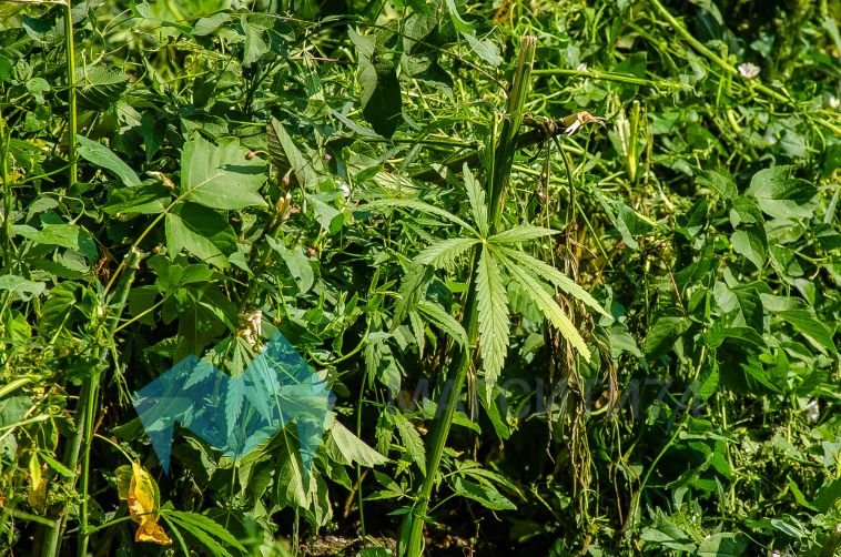 ВМагнитогорске у женщины изъяли около 770 граммов наркотика
