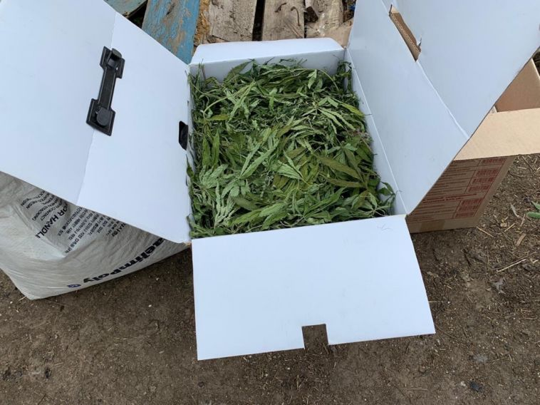 Мужчина изАгаповского района посадил 68 кустов конопли на своем участке